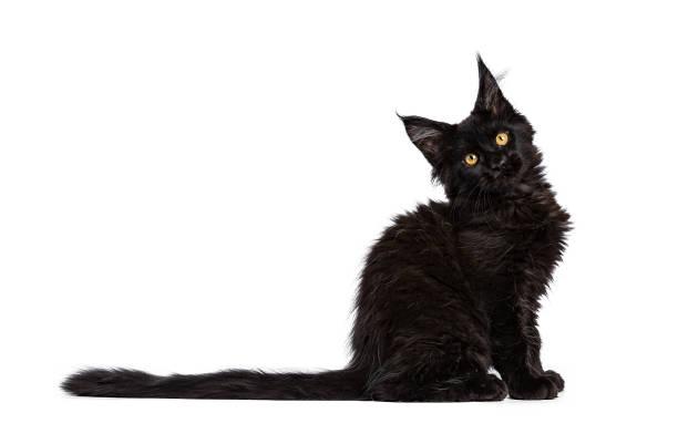 Black maine coon cat kitten sitting side ways isolated on white with picture id891644672?b=1&k=6&m=891644672&s=612x612&w=0&h=cl1vpfreuqkoygh2z0dxxrsfoe dvlzhi8avbj5gb g=