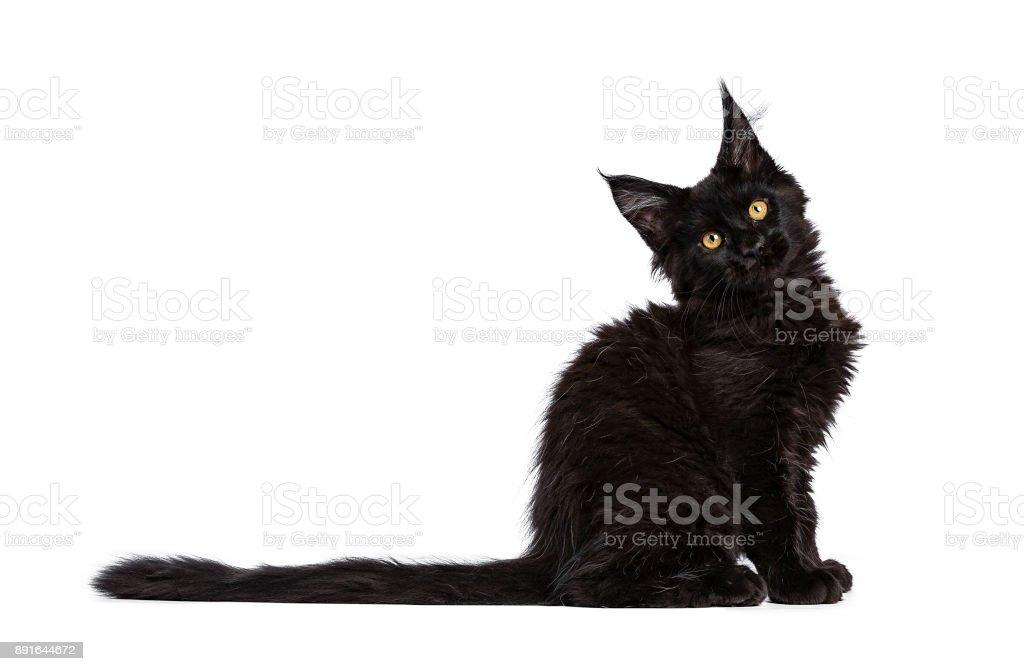 Zwart Maine Coon kat / kitten zitten kant manieren geïsoleerd op een witte achtergrond met schuin hoofd foto