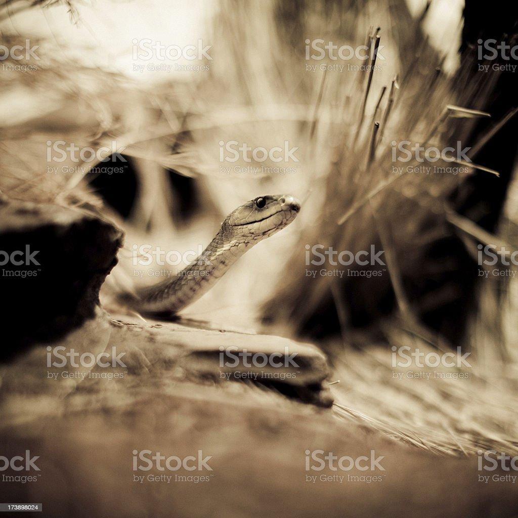 Black mamba stock photo