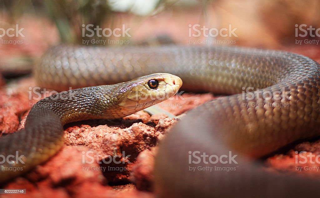 Black mamba stock photo