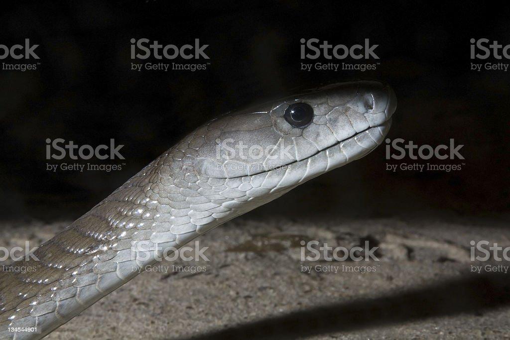 Black Mamba Snake at Night - Dendroaspis polylepis stock photo