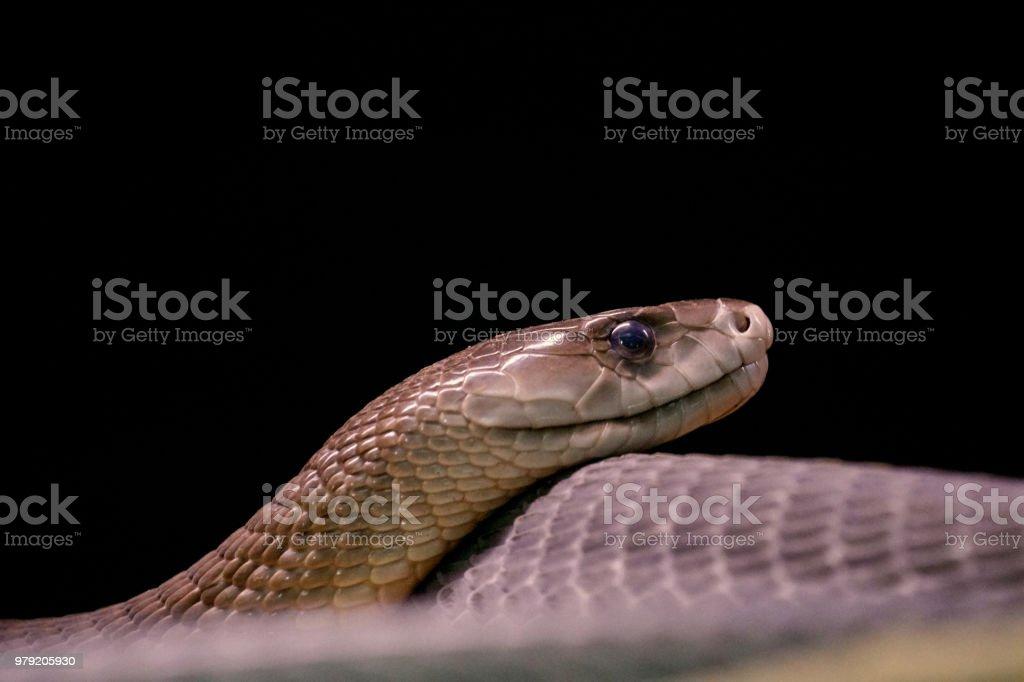 Black mamba snake in black background stock photo