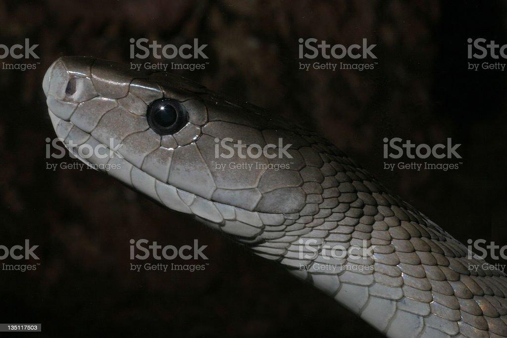 Black Mamba Snake royalty-free stock photo