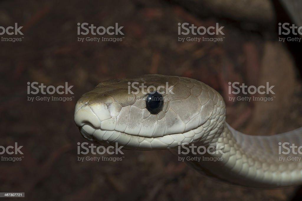 Black Mamba Snake stock photo