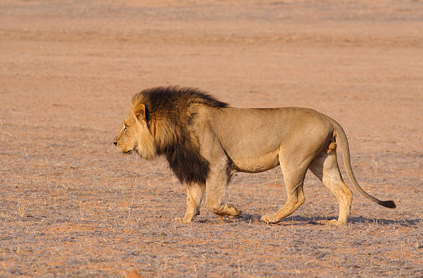 Royalty Free Lion Side View Pictures, Images and Stock ... - photo#3