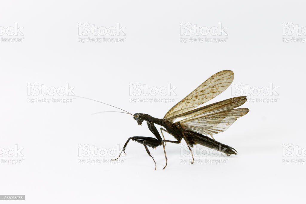 Black mantis stock photo