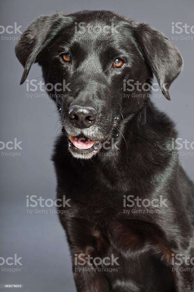 Black mixed breed dog. Mix of flatcoated and labrador retriever. stock photo
