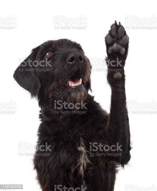 Black mixed breed dog showing paw isolated on white background picture id1161910102?b=1&k=6&m=1161910102&s=612x612&h=gcntco5fizkz2kgxde8znt4vuh7pkdf9tcdw02vorum=