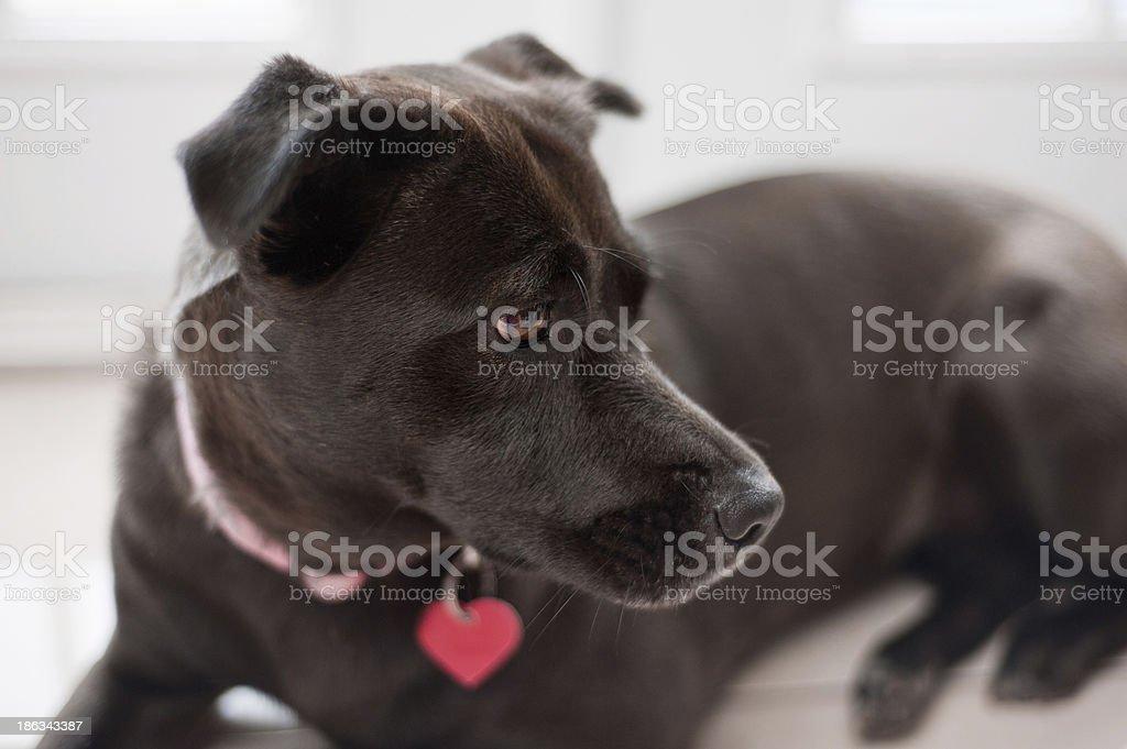 Black, Mixed-Breed, Female Dog stock photo