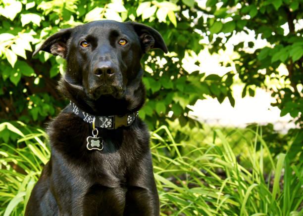 schwarz, gemischt-rasse deutscher schäferhund posiert mit dummen gesicht - hunde aus dem tierheim stock-fotos und bilder