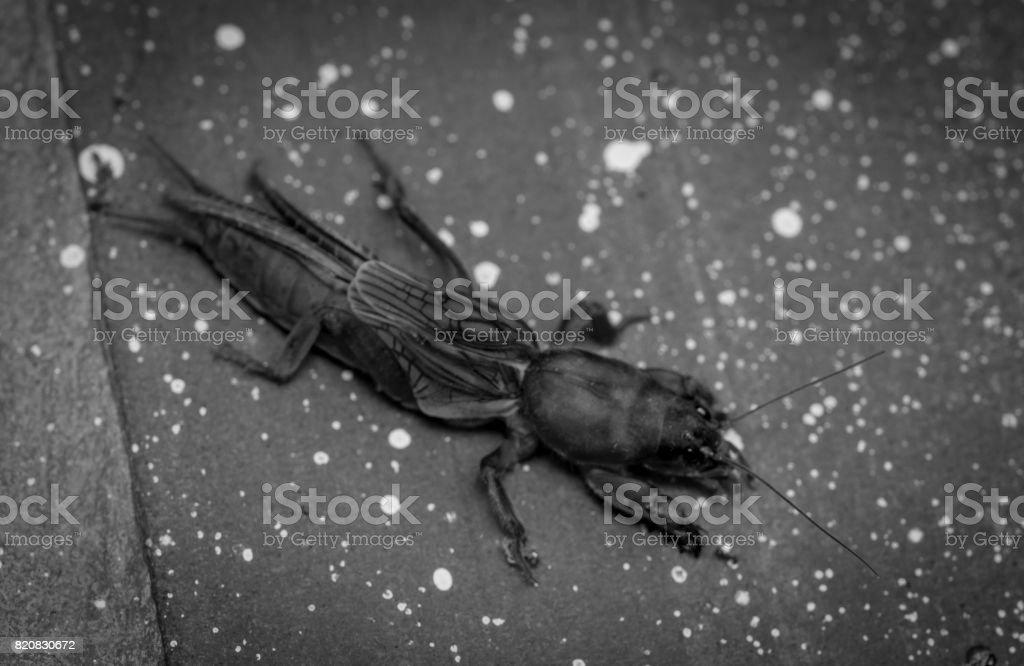 Black mole cricket in a farm stock photo