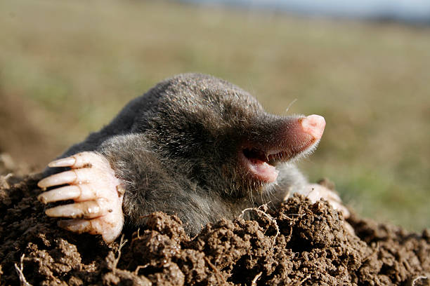 black mole hungry  mole animal stock pictures, royalty-free photos & images