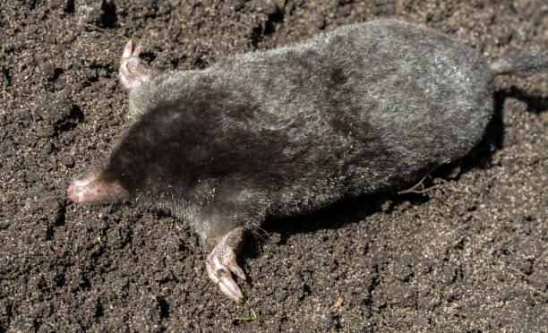 Black mole lies on a pile of excavated soil Black mole lies on a pile of excavated soil. Selective focus. mole animal stock pictures, royalty-free photos & images