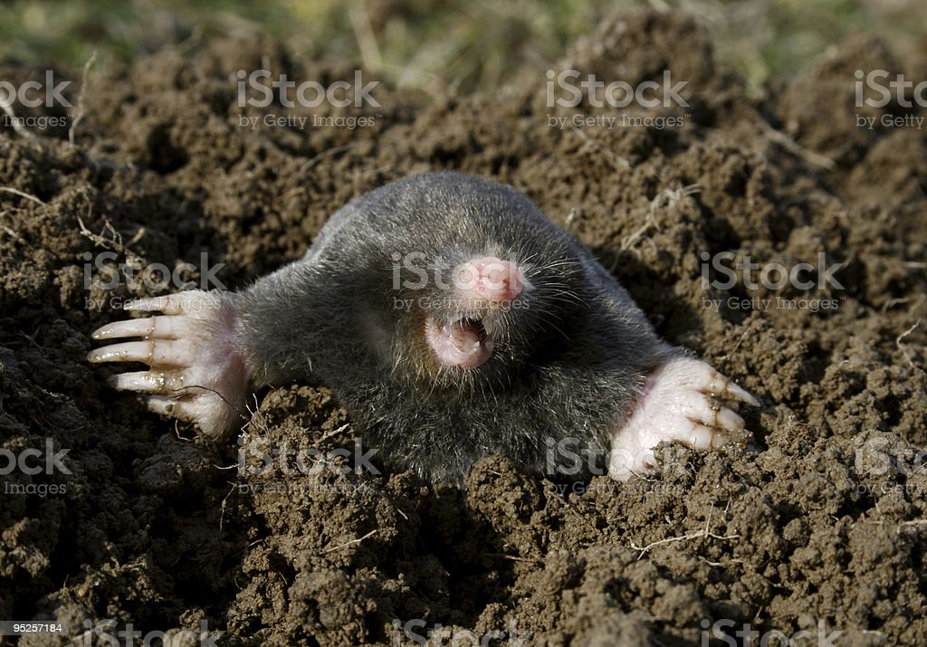 black mole new stock photo