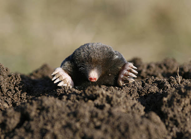 black mole  mole animal stock pictures, royalty-free photos & images