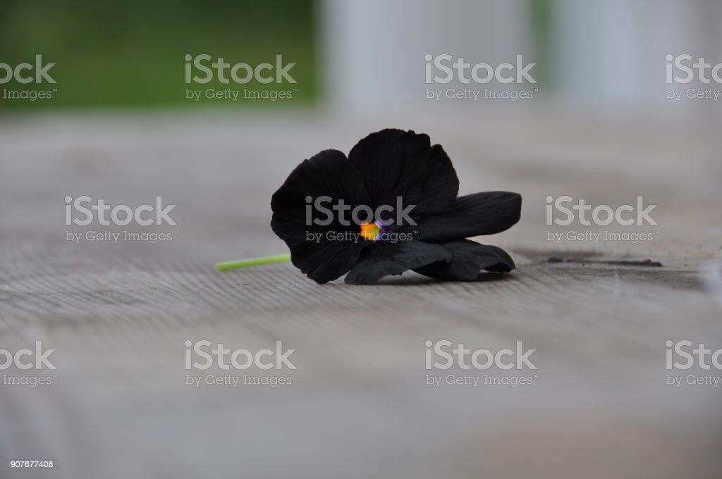 Black Molly violet stock photo