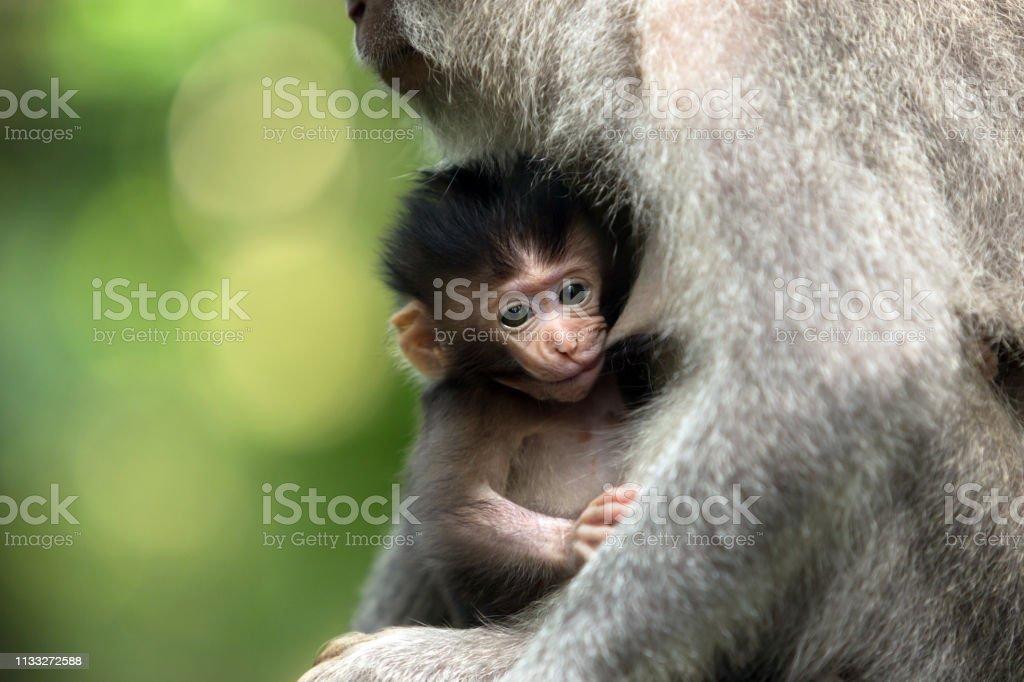 El chico mono negro se alimenta del pecho de la madre. - foto de stock