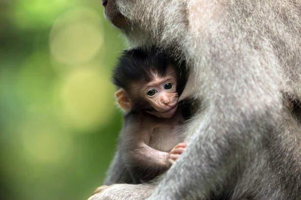 black monkey kid feeds on the mother's breast. - mammifero foto e immagini stock