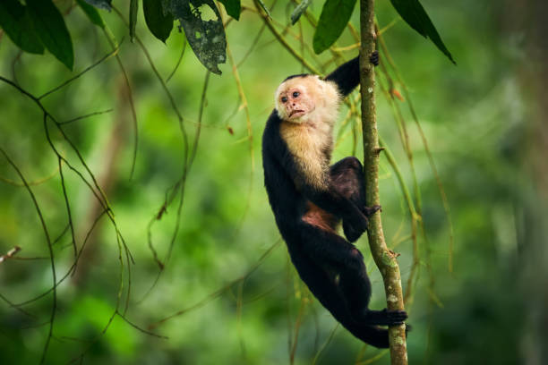 Black monkey sitting on tree branch in the dark tropic forest. White-headed Capuchin, little monkey from rainforest. Wildlife scene with wild animal from Costa Rica. stock photo