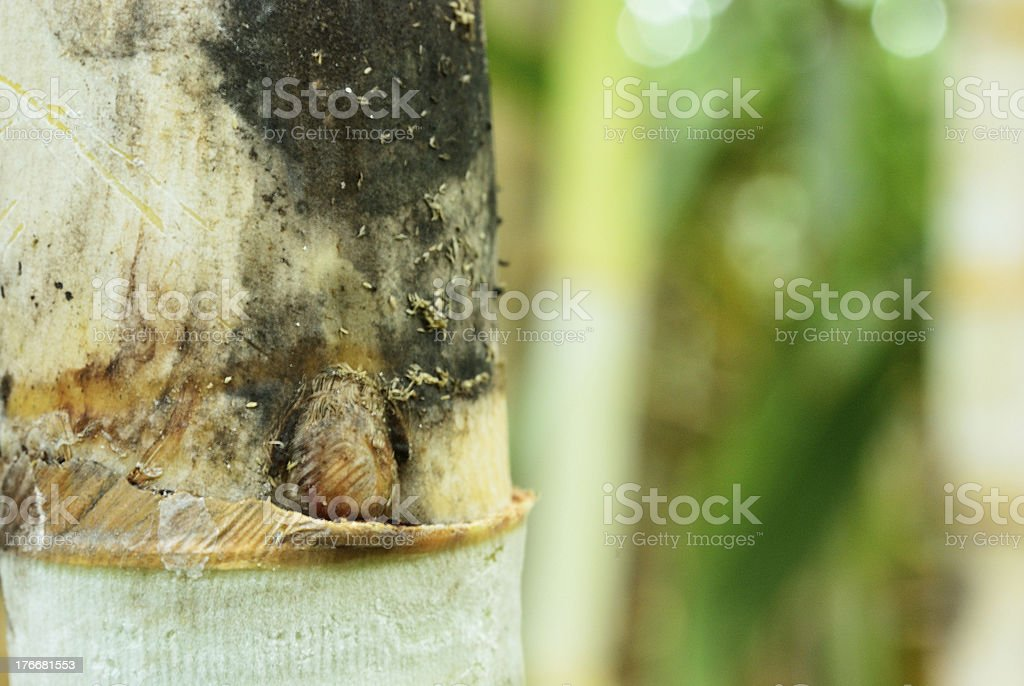 Black moss on sugar cane shoot royalty-free stock photo