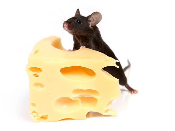 Maus und Käse – Foto