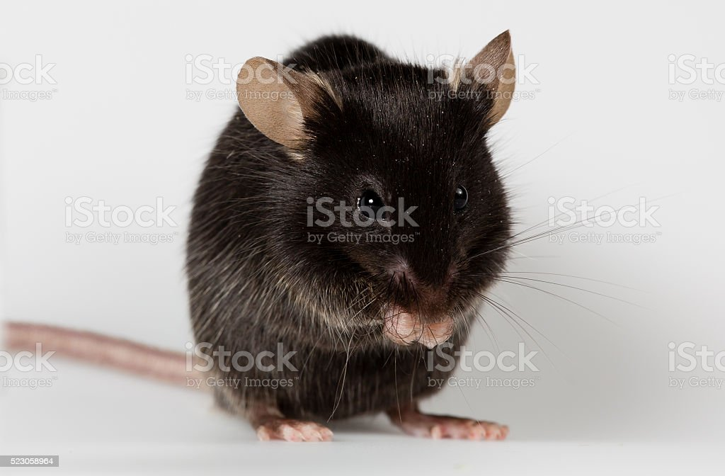 mouse nero foto stock royalty-free