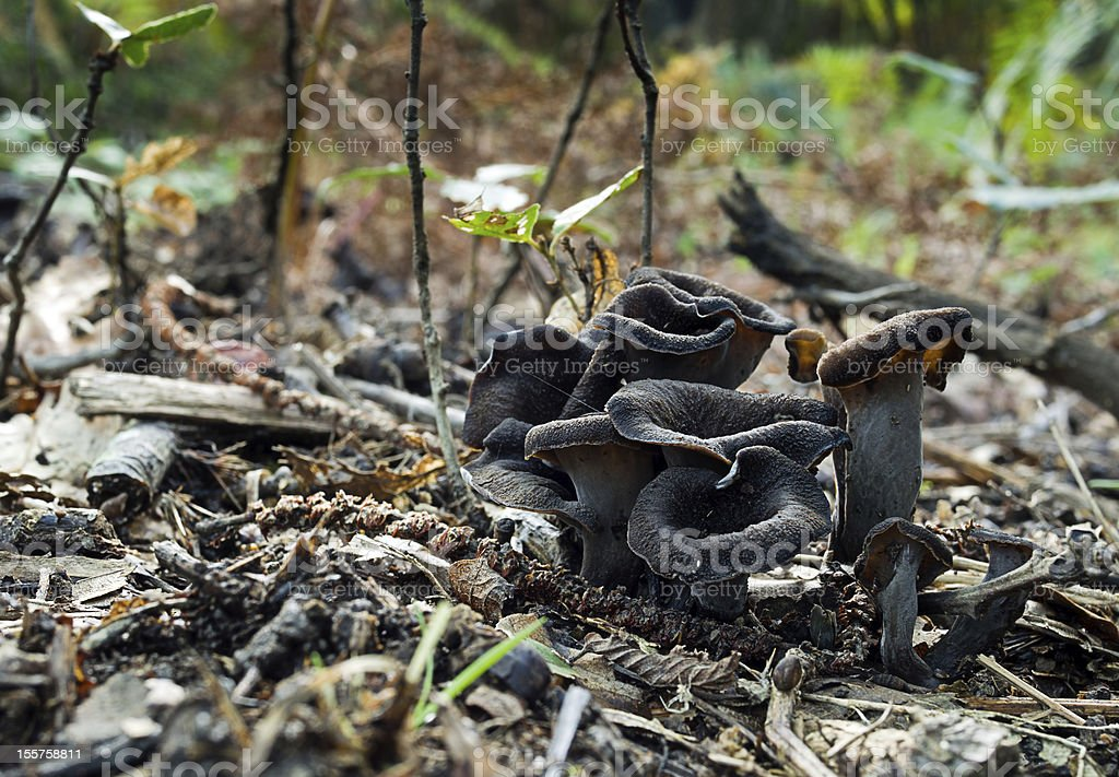 Black mushrooms, fungus in the woods - Craterellus cornucopioide stock photo