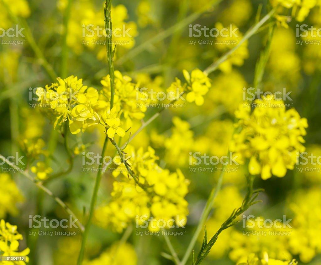 Black Mustard (Brassica nigra) stock photo