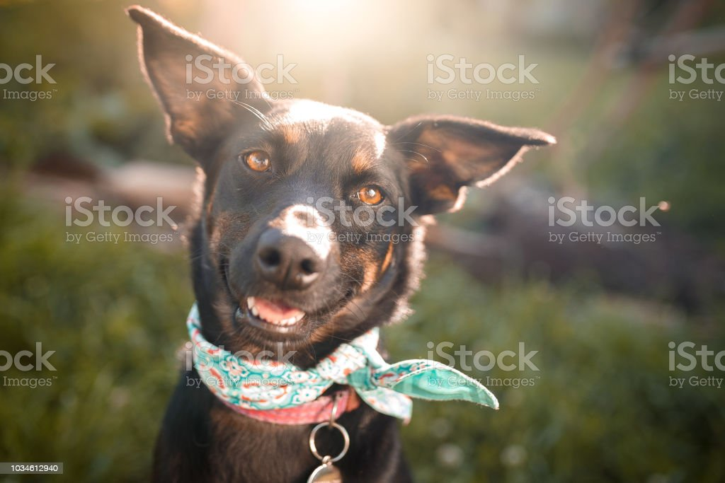 Black mutt dog outdoor portrait stock photo