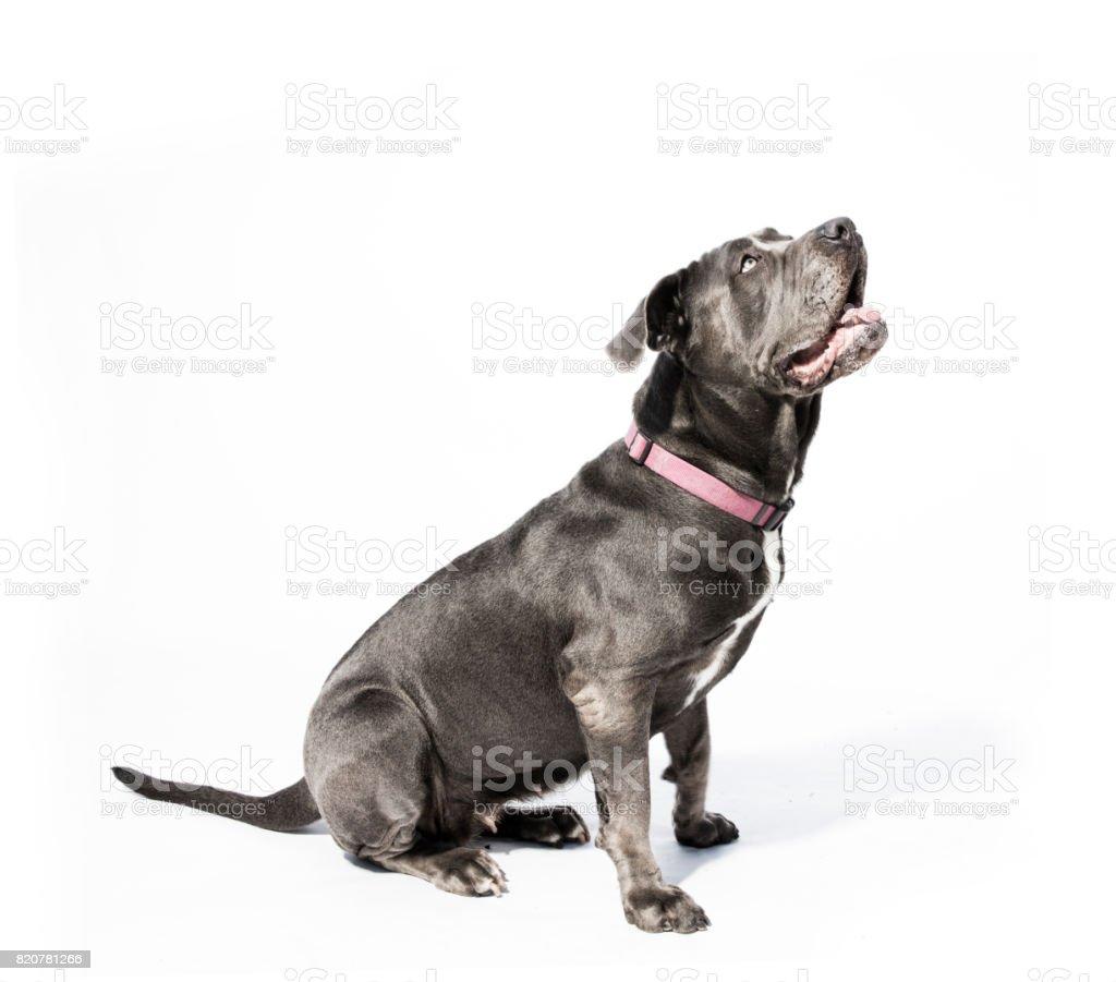 Black Neapolitan Mastiff Mix - The Amanda Collection stock photo