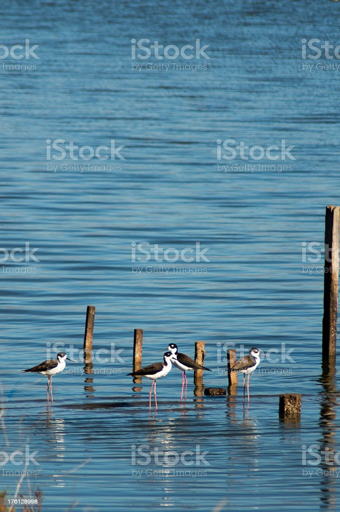 black necked stilts stock photo