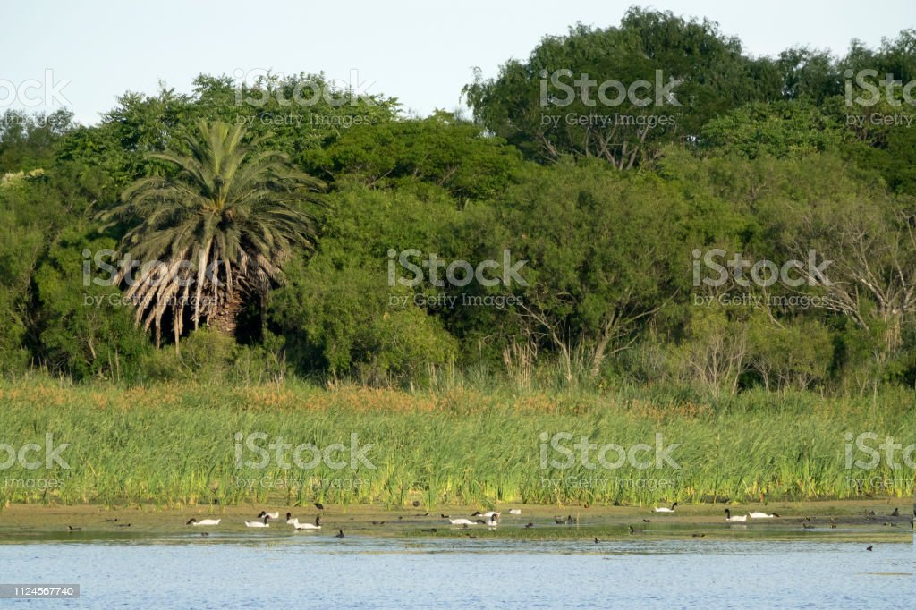 Black necked swans Constanera Sur Ecological Reserve forest Puerto Madero Buenos Aires Argentina stock photo