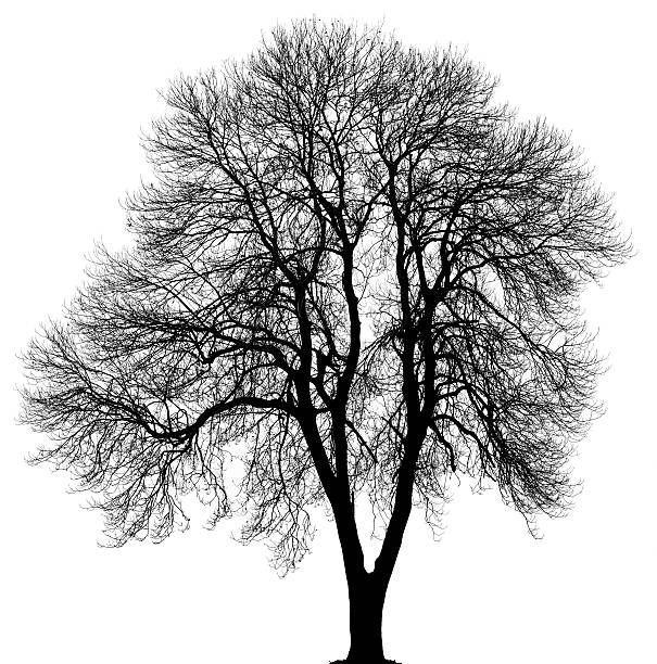 Black Norway maple or Acer platanoides in_winter isolated on white. stock photo