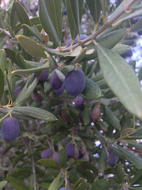 black olives on a branch - fsachs78 stockfoto's en -beelden
