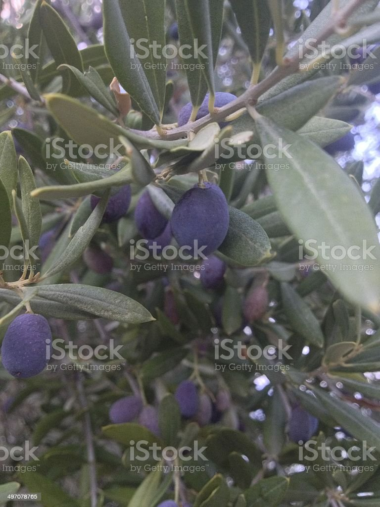 Black olives on a branch​​​ foto