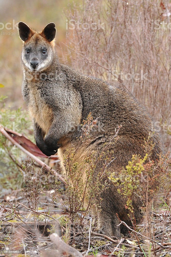 Black or Swamp Wallaby stock photo