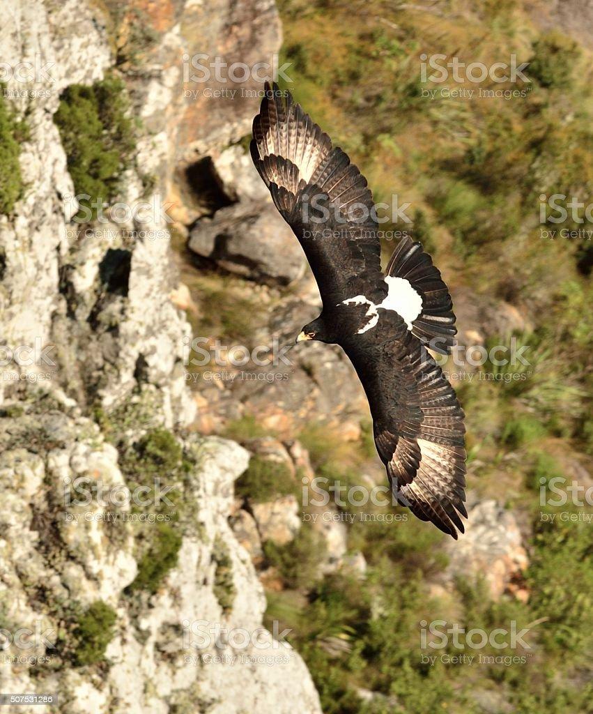Preto ou Verreauxs Eagle de cima, voando pela penhasco - foto de acervo