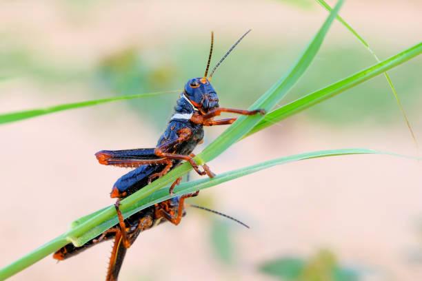 zwart, oranje rode sprinkhaan, gran chaco, paraguay - locust swarm stockfoto's en -beelden