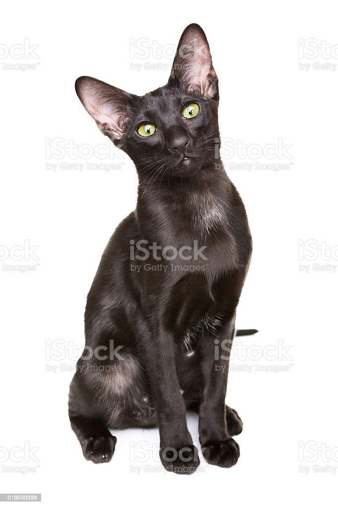 Black Oriental Shorthair Cat Stock Photo Download Image Now Istock