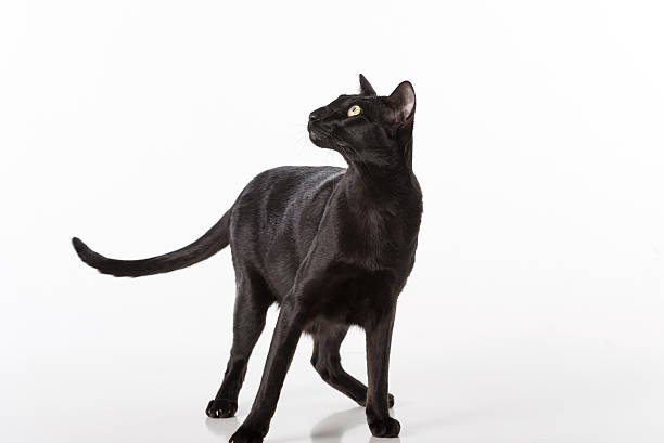 Black Oriental Shorthair Sitting on Table. Isolated on White Background stock photo