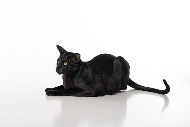 Black oriental shorthair sitting on table isolated on white picture id617738192?b=1&k=6&m=617738192&s=612x612&w=0&h=6ogrlbj5arnalrkfsg9166kevnidnl5bscrly36pu8q=