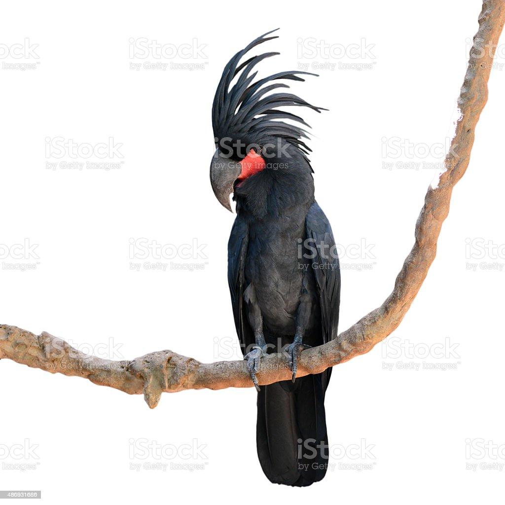 black palm cockatoo stock photo