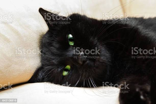 Black panther cat picture id643106816?b=1&k=6&m=643106816&s=612x612&h=0okf jcl9mc38mvspyfi4y40t0vupparce9f5dbicq4=