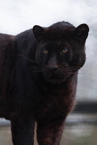 black-panther-liegt vor. - schwarzer puma stock-fotos und bilder
