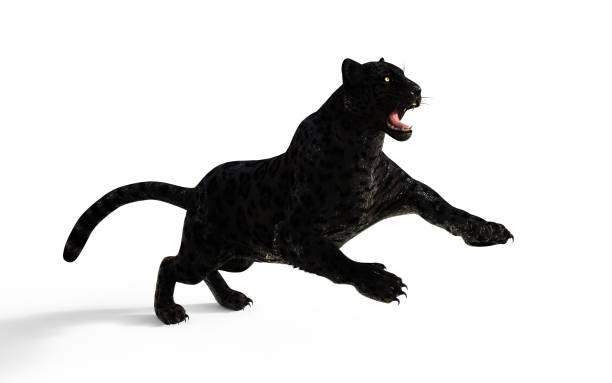Black panther isolate on white background with clipping path picture id959095372?b=1&k=6&m=959095372&s=612x612&w=0&h=l5ervhaileaqxp61ourbfkb3gl4y4d  gncvvpshixi=