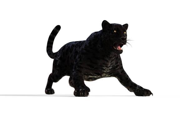 isoler les panther noir sur fond blanc avec clipping path - panthere noir photos et images de collection