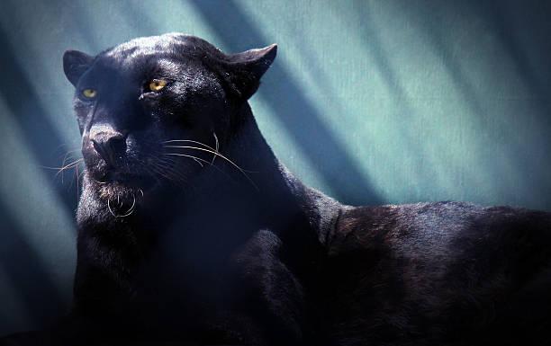 noir panthère léopard - panthere noir photos et images de collection