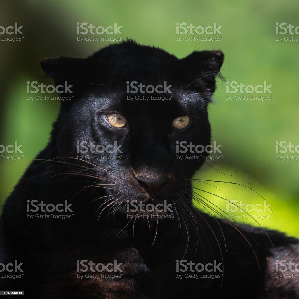 Black panther - Panthère noir stock photo