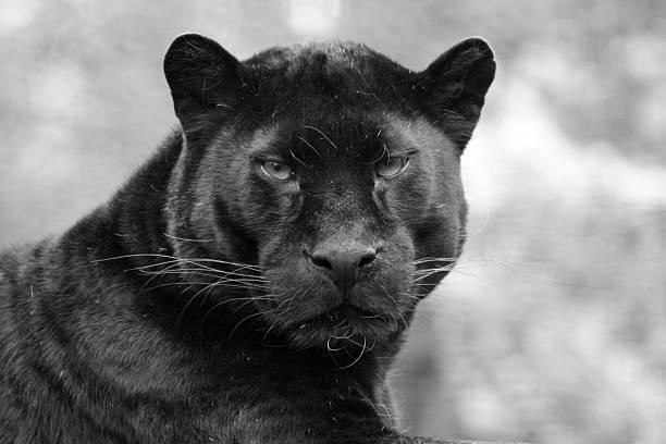 black panther - svart leopard bildbanksfoton och bilder