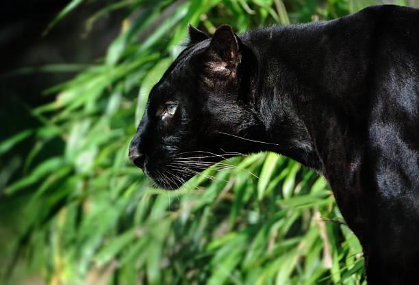 black panther圖像檔
